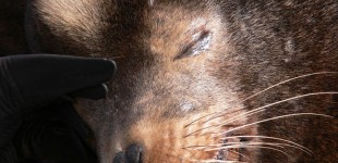 Sleepy Sealion | Astoria, OR