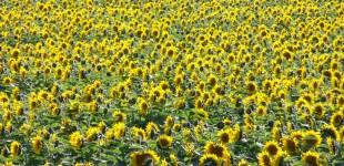 Sunflowers | South Dakota